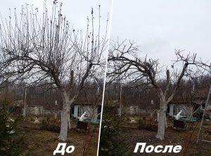 Обрезка на дереве волчков на второй год после омолаживающего кронирования