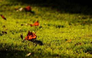 как сажать газон осенью